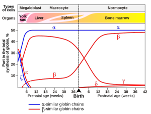Gene expression of hemoglobin before and after birth. Also identifies the types of cells and organs in which the gene expression (data on Wood W.G.,