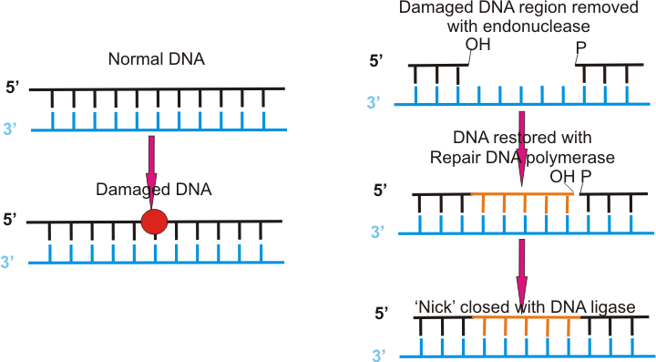 Dna_repair_freewiki